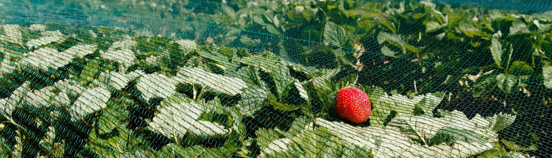 agricoltura biologica, coltivazione fragole