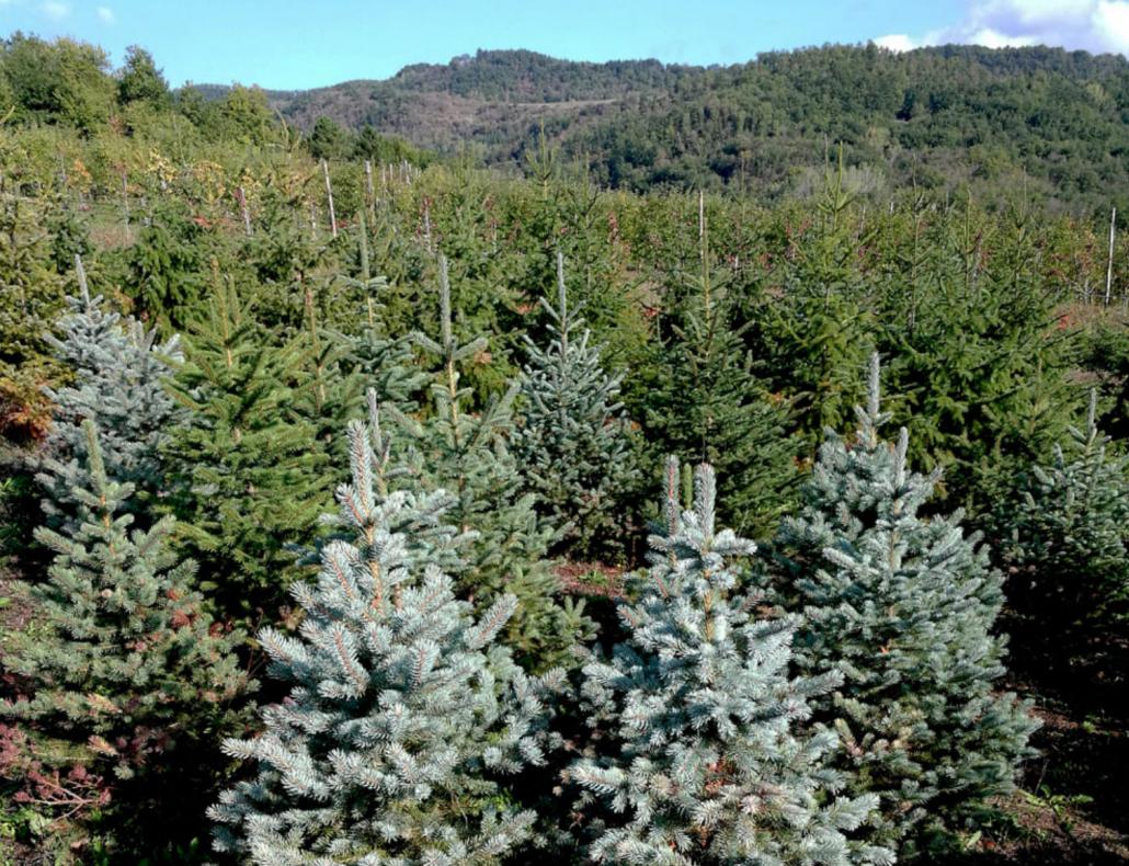 Una coltivazione di abeti di Natale nelle campagne attorno ad Arezzo. FONTE: Dipartimento Scienze Agrarie, Università di Firenze.