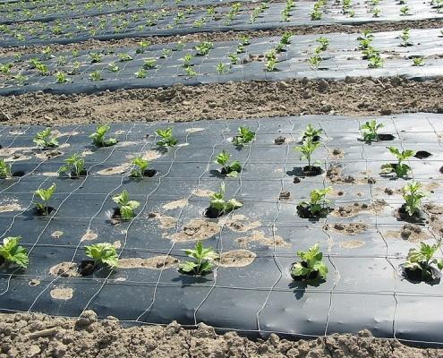 Un telo pacciamente in bioplastica. Il materiale biodegradabile è un'alternativa ai prodotti tradizionali che impattano ancora pesantemente sulla salute del suolo agricolo europeo. Foto: F. Kesselring, FKuR Willich Attribution-ShareAlike 3.0 Germany (CC BY-SA 3.0 DE)