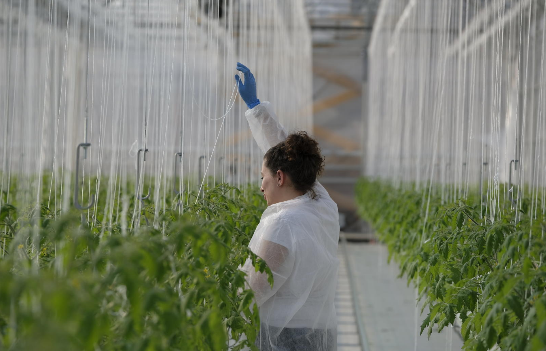 Agricoltura. Nella sua Serra Attiva, Sfera Agricola coltiva pomodori, insalate ed erbe aromatiche senza l'uso di fitofarmaci. FOTO: Sfera Agricola.