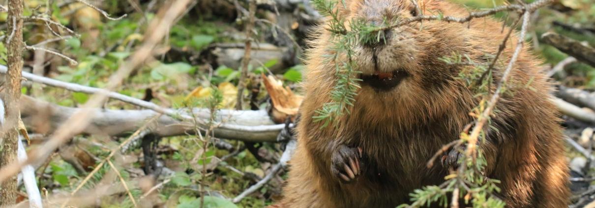I castori sono ottimi strumenti per tutelare biodiversità e salubrità dei terreni. FOTO: Orna Wachman da Pixabay