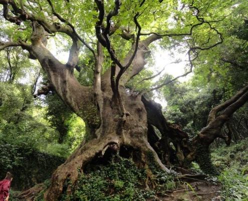 Situato nelle vicinanze di Curinga, in provincia di Catanzaro, il platano millenario di Vrisi è uno degli esponenti più noti dell'Elenco degli alberi monumentali d'Italia. Foto: Curinghese Attribution-ShareAlike 4.0 International (CC BY-SA 4.0)