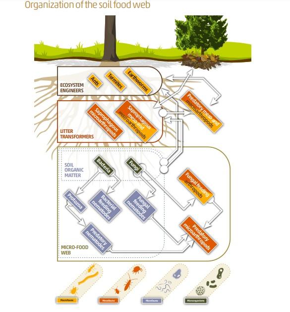 Organizzazione della rete alimentare del suolo. Modello semplificato dei diversi gruppi di organismi del suolo: i microrganismi, micro, meso e macrofauna sono raggruppati in tre categorie nella rete alimentare e la sua differenziazione funzionale. In primo luogo, la micro-rete alimentare (linee tratteggiate) comprende batteri e funghi, che sono alla base della rete alimentare e decompongono la materia organica del suolo, che rappresenta la risorsa di base dell'ecosistema del suolo, e i loro predatori diretti, protozoi e nematodi. In secondo luogo, i trasformatori della lettiera includono i microartropodi che frammentano la lettiera, creando nuove superfici per l'attacco microbico. Infine, gli ingegneri dell'ecosistema, come termiti, lombrichi e formiche, modificano la struttura del suolo migliorando la circolazione di nutrienti, energia, gas e acqua. Adattato da Coleman e Wall, 2015. FONTE: FAO State of knowledge of soil biodiversity—Report 2020.
