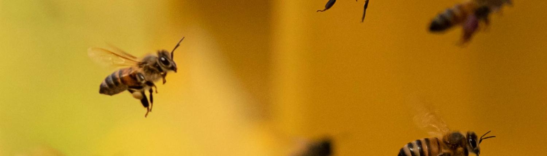 Le api e altri insetti impollinatori sono in pericolo. Una ricerca di Ispra rivela che una specie su 10 di api e farfalle è a rischio estinzione e una su tre vede la propria popolazione in declino. Principale responsabile: l'uso di pesticidi. FOTO: Matteo Berlenga.