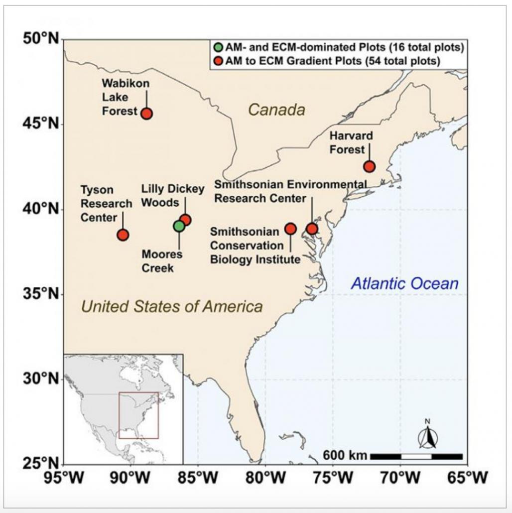 Una mappa delle località di campionamento negli Stati Uniti orientali utilizzate negli studi sulla capacità di mitigazione del climate change degli alberi. Il punto verde indica Moores Creek, dove si trovano gli appezzamenti dominati da AM e ECM, mentre i punti rossi indicano i siti associati al gradiente di 54 appezzamenti. Il sito di Moores Creek contiene 16 appezzamenti totali (8-AM e 8-ECM dominati) mentre ogni sito nel gradiente di 54 appezzamenti contiene nove appezzamenti di diversa composizione AM/ECM.