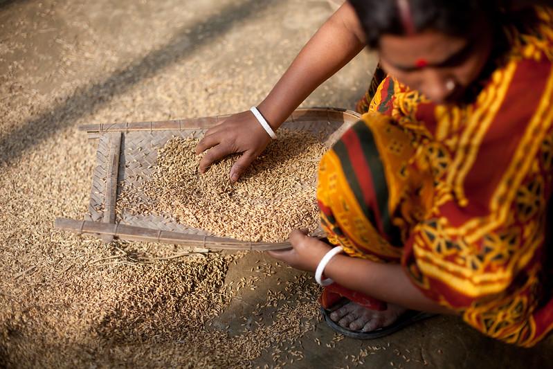L'aggiunta della lolla di riso al suolo favorisce la riduzione della contaminazione da arsenico e cadmio nelle piante. Foto: WorldFish Attribution-NonCommercial-NoDerivs 2.0 Generic (CC BY-NC-ND 2.0)