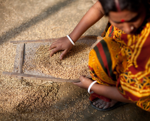 Adding rice husk to soil helps reduce arsenic and cadmium contamination in plants. Photo: WorldFish Attribution-NonCommercial-NoDerivs 2.0 Generic (CC BY-NC-ND 2.0)