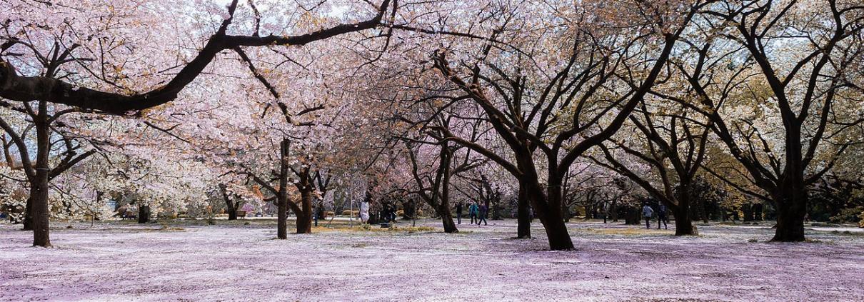 Sakura fioritura ciliegi giappone clima