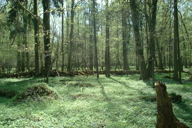 Bialowieza in Poland is one of Europe's most famous primary forests. Photo: Merlin Attribution-ShareAlike 3.0 Unported (CC BY-SA 3.0)