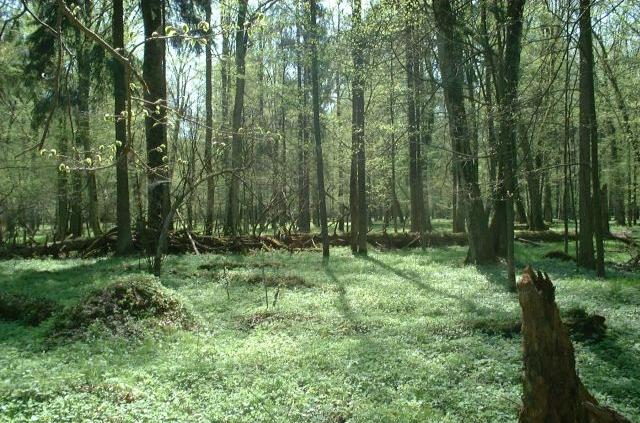Quella di Bialowieza, in Polonia, è una delle più celebri foreste primarie europee. Foto: Merlin Attribution-ShareAlike 3.0 Unported (CC BY-SA 3.0)