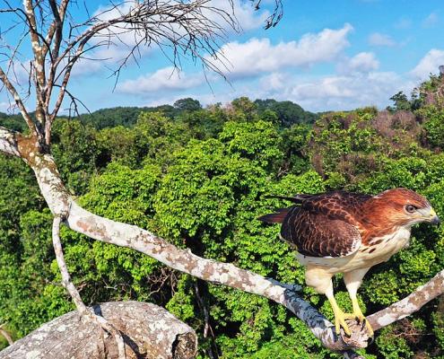 Una poiana dal collorosso in uno degli habitat incontaminati garantiti da una riserva naturale in Gabon. Lo Stato africano è il primo a ricevere denaro per non deforestare e non emettere quindi CO2. FOTO: VIGNA christian CC-BY-SA-4.0