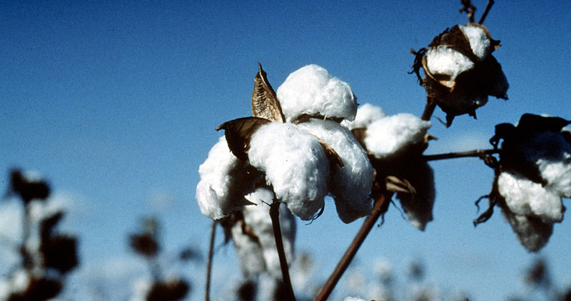 Cotton decomposes much faster in soil than synthetic fibers such as polyester. Photo: Commonwealth Scientific and Industrial Research Organisation (CSIRO) Attribution 3.0 Unported (CC BY 3.0)