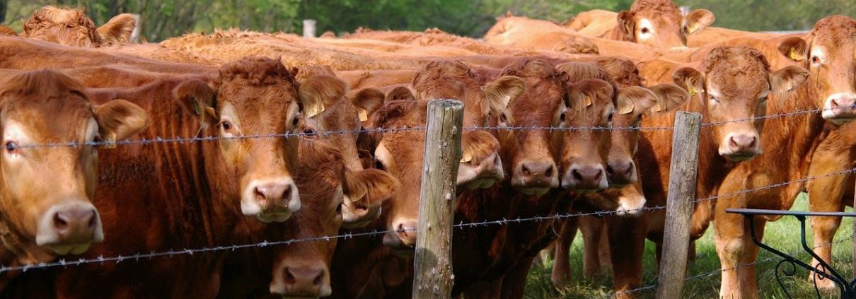 allevamenti agricoltura emissioni bovini PAC gas serra