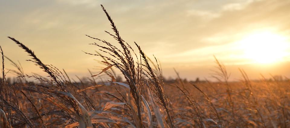 I numeri raccolti dalla NASA evidenziano come negli USA centro-occidentali i campi di mais caratterizzati da un basso livello di aratura abbiano una resa superiore del 3,3%. Foto: Pixabay License Libera per usi commerciali Attribuzione non richiesta