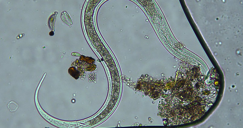 Nematodes are essential players in the soil system providing benefits or damage depending on properties of 30,000 different species. Photo: Starlight Hunter Attribution-NonCommercial-ShareAlike 2.0 Generic (CC BY-NC-SA 2.0)