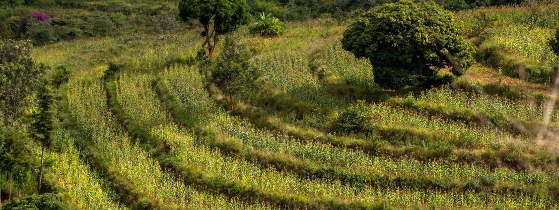 Il governo kenyano sta incentivando il ripristino della terra nel paesaggio Makuki-Nzaui. Un esempio perfetto di come sussidi agricoli ben strutturati possono contribuire a restituire salute ai suoli tutelando gli agricoltori locali. FOTO: Peter Irungu/WRI