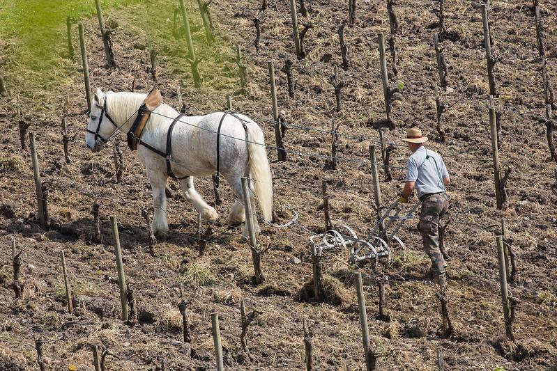 L'impiego dei cavalli nelle operazioni di dissodamento contribuisce alla salute del suolo. Foto: Blaye Côtes de Bordeaux Attribution-NoDerivs 2.0 Generic (CC BY-ND 2.0)